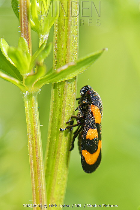 Black and red froghopper (Cercopis vulnerata) sunning on a Bedstraw stem in a meadow, Wiltshire, UK, May.