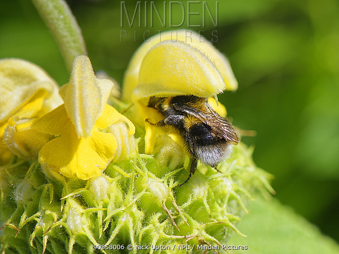 Buff-tailed bumblebee (Bombus terrestris) visiting a Turkish sage (Phlomis russeliana) flower, triggering anthers to lower onto its back, chalk grassland meadow, Wiltshire, UK, May. Shot 2 of 4.