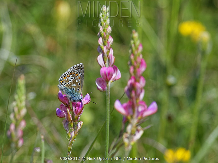 Common blue butterfly (Polyommatus icarus) nectaring on Sainfoin (Onobrychis viciifolia) flowers on a chalk grassland slope, Great Cheverell Hill, Salisbury Plain, Wiltshire, UK, May.