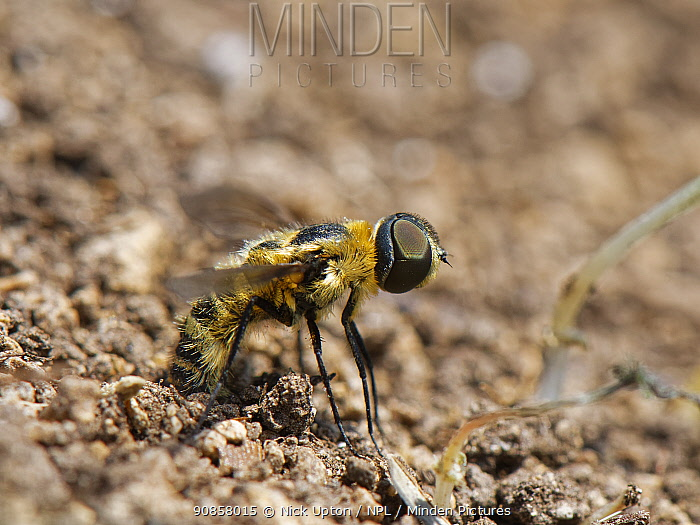 Downland villa bee fly (Villa cingulata) rubbing the tip of her abdomen in loose soil by a rabbit burrow to fill her sand chamber, where eggs are coated in sand, chalk grassland slope, near Bradford on Avon, Wiltshire, UK, June.