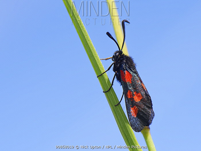 Narrow-bordered Five-spot burnet moth (Zygaena lonicerae) resting on grass stems in a chalk grassland meadow, Wiltshire, UK, May.