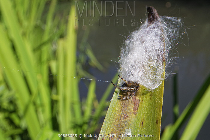 Furrow orb weaver / Foliate spider (Larinioides cornutus) female partly emerged from its silken retreat on a reed leaf on a river margin, Wiltshire, UK, July.
