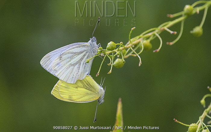 Green-veined white butterfly (Pieris napi) pair mating. Turku, Finland. July.