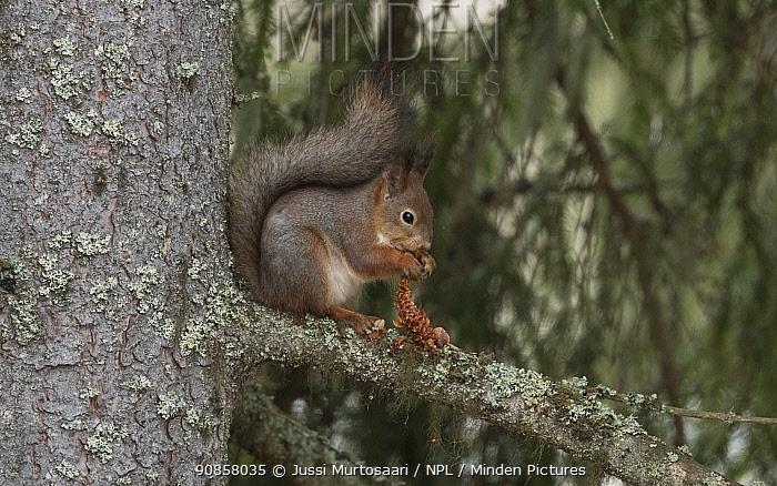 Red squirrel (Sciurus vulgaris) feeding on spruce cone whilst sitting in tree. Puuppola, Finland. March.