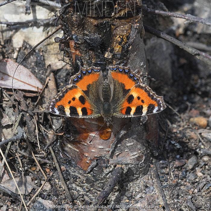 Small tortoiseshell butterfly (Aglais urticae) feeding on Birch (Betula sp) sap. Jyvaskyla, Finland. April.