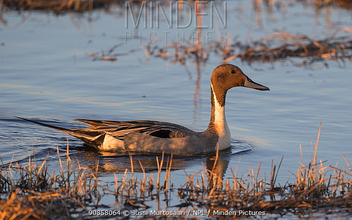 Northern pintail (Anas acuta) male on water in evening light. Liminka, Finland. May.