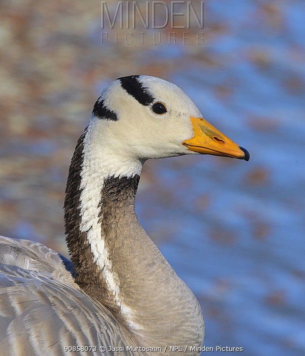 Bar-headed goose (Anser indicus), portrait. Pargas, Finland. July.