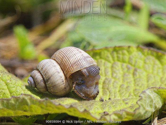 Land winkle / Round-mouthed snail (Pomatias elegans), a land snail with an operculum, closely related to marine snails, emerging from its shell on a chalk grassland slope, near Bradford on Avon, Wiltshire, UK, June.