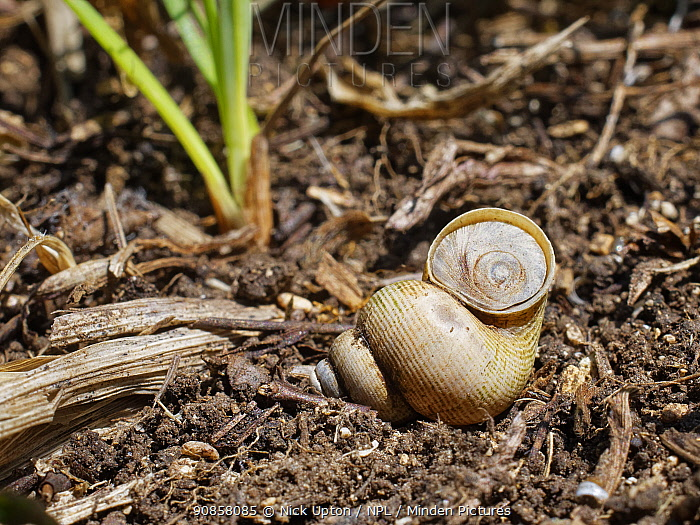 Land winkle / Round-mouthed snail (Pomatias elegans), a land snail closely related to marine snails, positioned to show its tough operculum, on a chalk grassland slope, near Bradford on Avon, Wiltshire, UK, June.