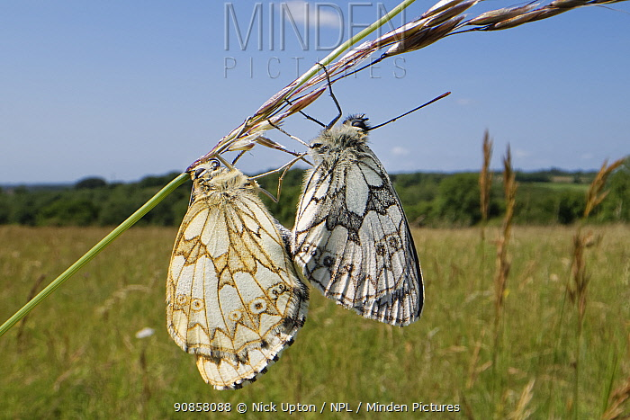 Marbled white butterfly (Melanargia galathea) pair mating on a grass stem, female on the left, male on the right, Wiltshire, UK, June.