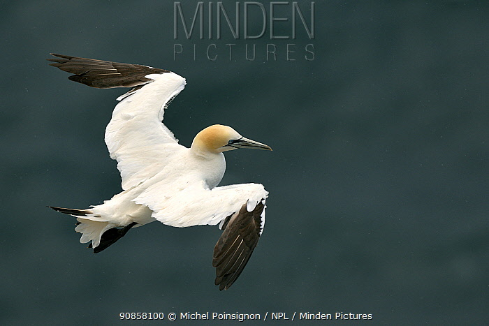 Gannet (Morus bassanus) in flight, Troup Head, Scotland, UK, july