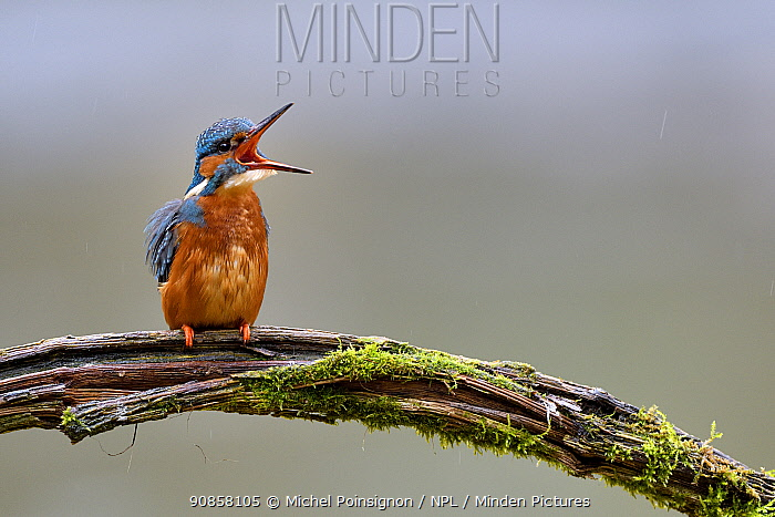 Kingfisher (Alcedo atthis) female perched on branch over river, yawning, Lorraine, France, March