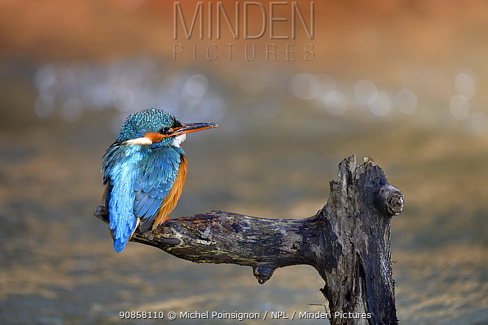 Kingfisher (Alcedo atthis) female perched on branch over river, Lorraine, France, April