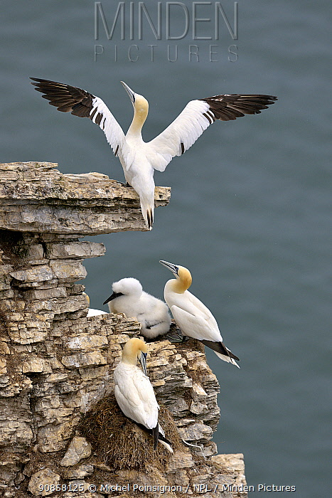 Gannet (Morus bassana) adult stretching its wings, Bempton cliffs, Yorkshire, England, UK, July