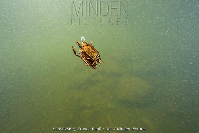 Two Lesser diving beetle (Acilius sulcatus) mating, Lago Nero, Pistoia, Tuscany, Italy.