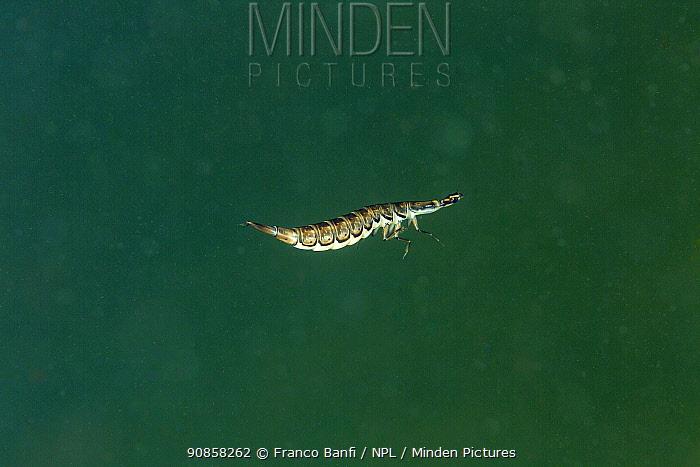Lesser diving beetle (Acilius sulcatus) larvae. Lago Nero, Pistoia, Tuscany, Italy.