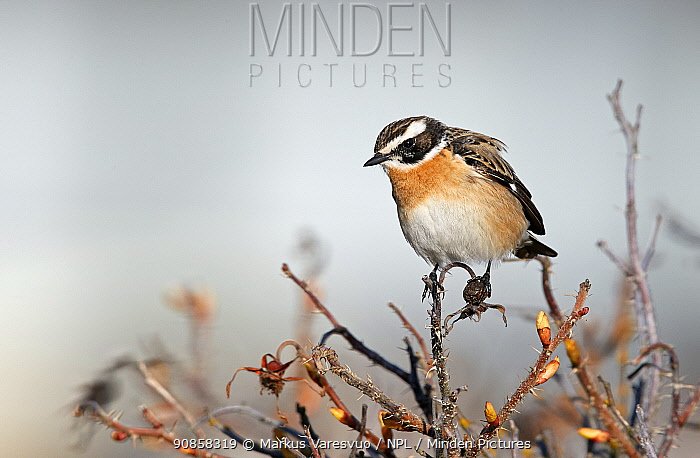Whinchat (Saxicola rubetra) male perched on bush. Uto, Finland. May.