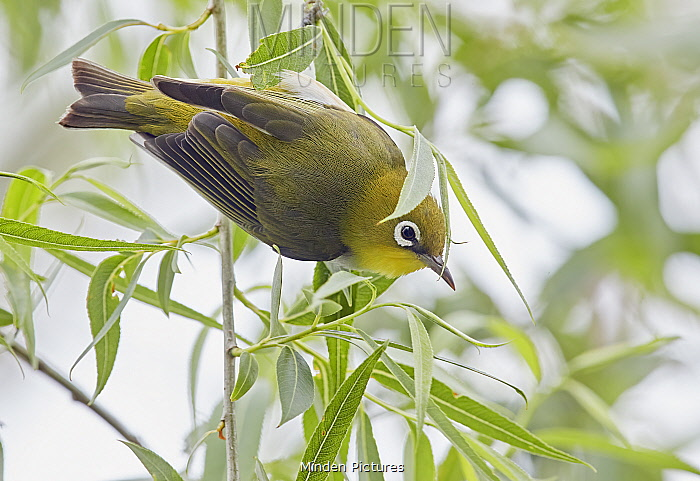 Chestnut-flanked white-eye (Zosterops erythropleurus) perched in tree. Happy Island, China.