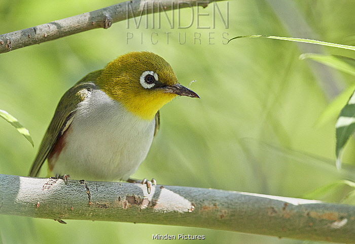 Chestnut-flanked white-eye (Zosterops erythropleurus) perched on branch. Happy Island, China.