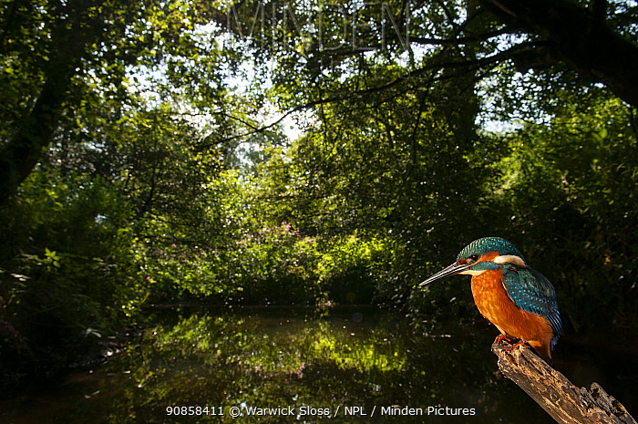 European kingfisher (Alcedo atthis) perching on stick, Wellow Brook, Somerset, UK, July.