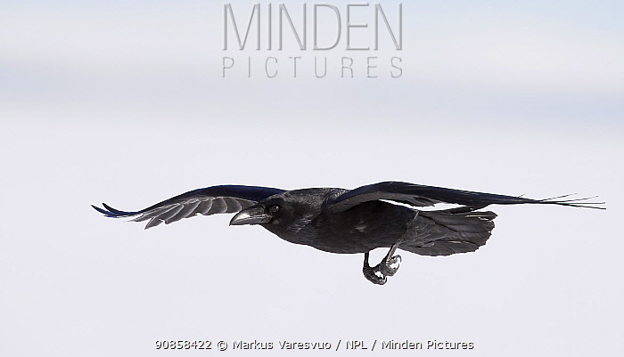Raven (Corvus corax) in flight. Lokka, Finland. April.