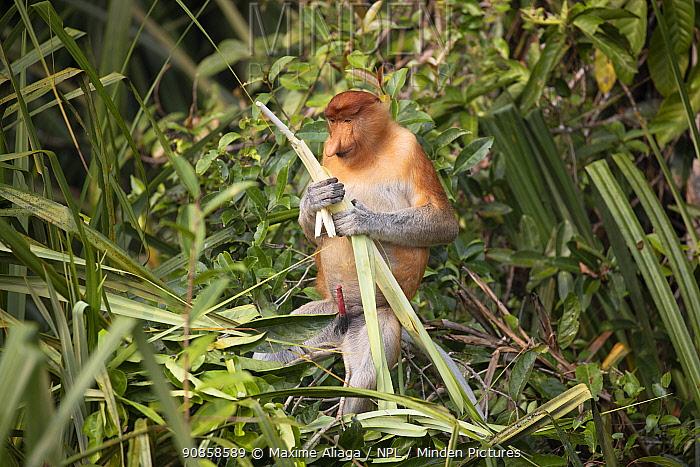 Proboscis monkey (Nasalis larvatus) male, Tanjung Puting National Park, Central Kalimantan, Borneo, Indonesia.