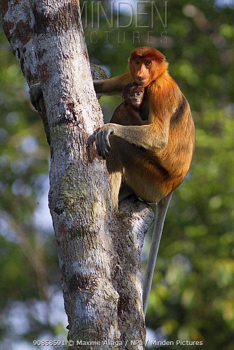Proboscis monkey (Nasalis larvatus) female with baby, Tanjung Puting National Park, Central Kalimantan, Borneo, Indonesia.