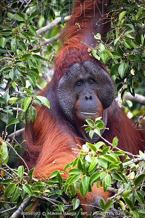 Bornean orangutan (Pongo pygmaeus) large flanged male, Tanjung Puting National Park, Central Kalimantan, Borneo, Indonesia.
