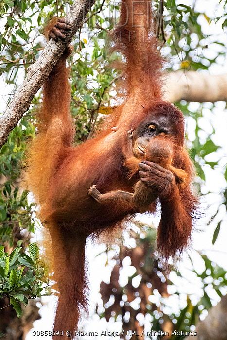 Bornean orangutan (Pongo pygmaeus) female with baby, Tanjung Puting National Park, Central Kalimantan, Borneo, Indonesia.