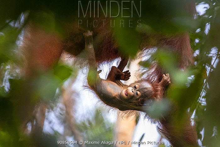 Bornean orangutan (Pongo pygmaeus) female with infant, urinating, Tanjung Puting National Park, Central Kalimantan, Borneo, Indonesia.
