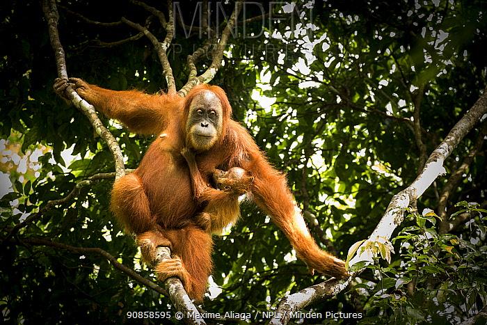 Sumatran orangutan (Pongo abelii) female with infant. The mother Marconi had been rehabilitated by SOCP program. Jantho forest , Sumatra.