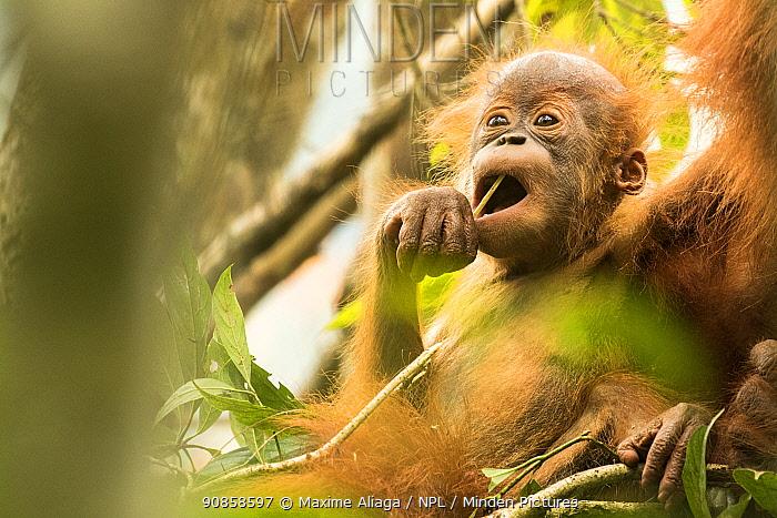 Sumatran orangutan (Pongo abelii) portrait of infant with mother. The mother Marconi had been rehabilitated by SOCP program. Jantho forest , Sumatra.