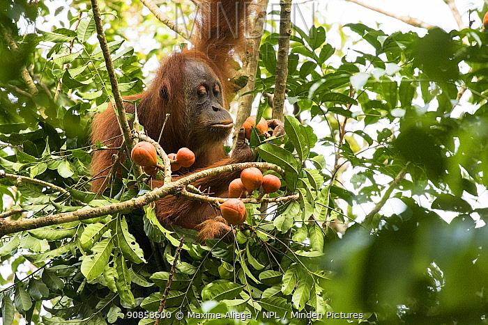 Sumatran orangutan (Pongo abelii) female eating fruit. This female - Marconi had been rehabilitated by SOCP program. Jantho forest , Sumatra.