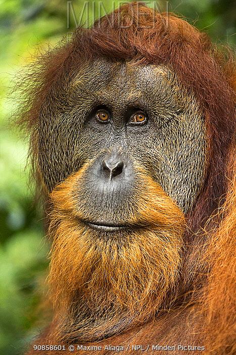 Flanged male Sumatran orangutan (Pongo abelii) male head portrait, Gunung Leuser National Park, Sumatra