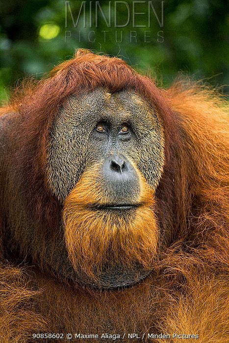 Flanged male Sumatran orangutan (Pongo abelii) male portrait, Gunung Leuser National Park, Sumatra
