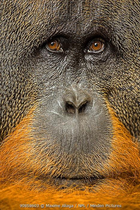 Flanged male Sumatran orangutan (Pongo abelii) male close up face portrait, Gunung Leuser National Park, Sumatra
