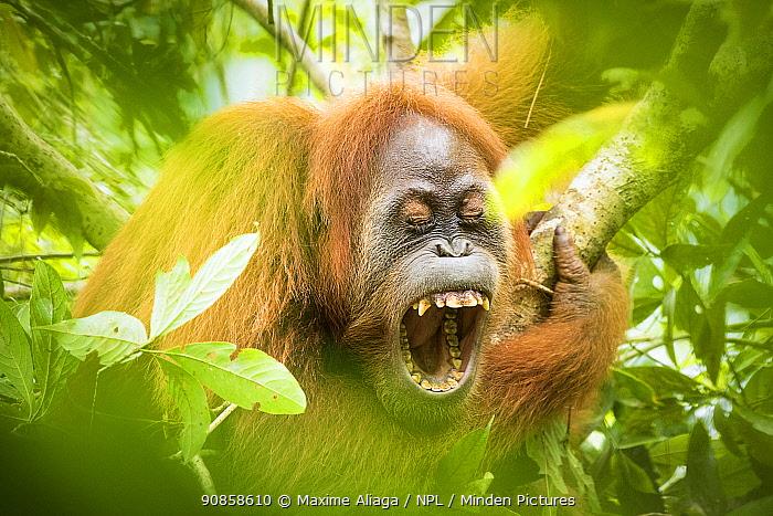 Sumatran orangutan (Pongo abelii) female yawning, Gunung Leuser National Park, Sumatra.