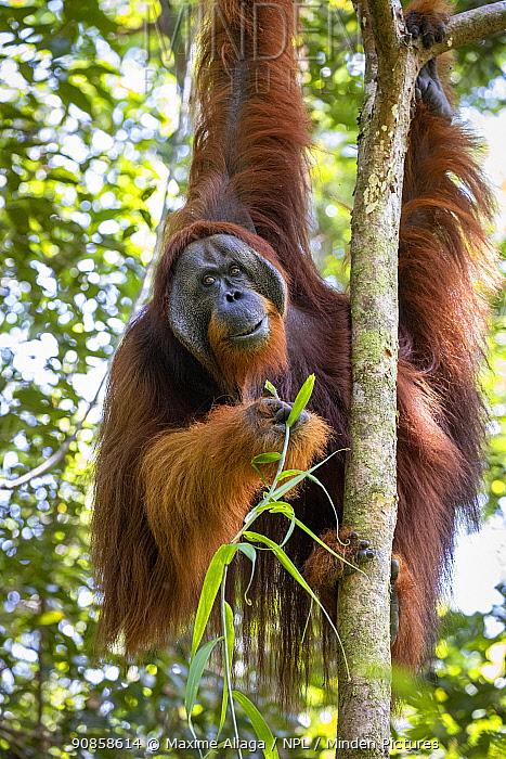 Flanged male Sumatran orangutan (Pongo abelii) , eating leaves, Suaq Balimbing Station, Gunung Leuser National Park, Sumatra.