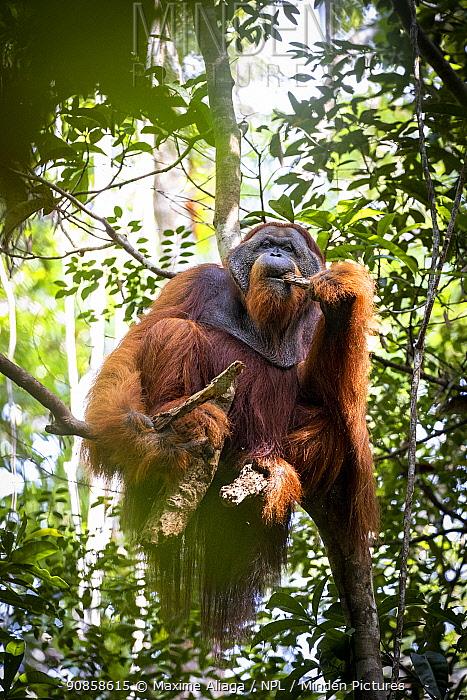 Flanged male Sumatran orangutan (Pongo abelii) , eating termite on dead wood, Suaq Balimbing Station, Gunung Leuser National Park, Sumatra.