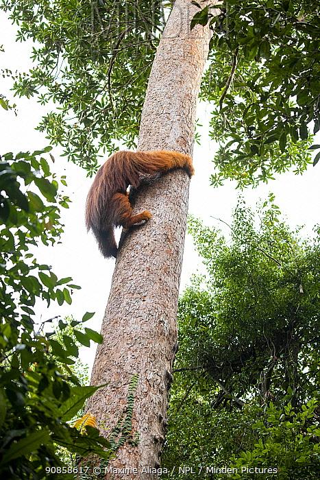 Flanged male Sumatran orangutan (Pongo abelii) , climbing tree trunk, Suaq Balimbing Station, Gunung Leuser National Park, Sumatra.