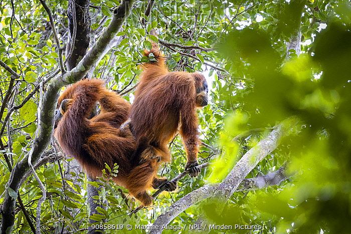 Sumatran orangutan (Pongo abelii) pair mating, Suaq Balimbing Station, Gunung Leuser National Park, Sumatra.