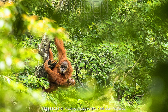 Sumatran orangutan (Pongo abelii) female with infant. The female Marconi had been rehabilited by SOCP program. She had a baby in 2017 born in the forest of Jantho, Aceh province where she was been released., Jantho Forest Reserve, Sumatra.