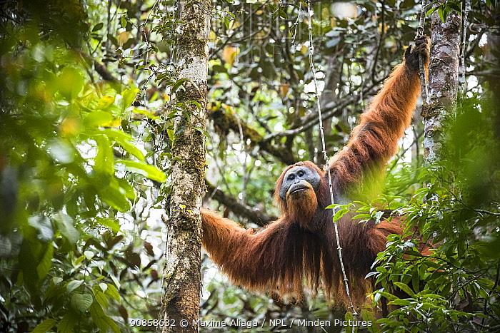 Flanged dominant male Tapanuli orangutan (Pongo tapanuliensis) Batang Toru Forest , North Sumatra