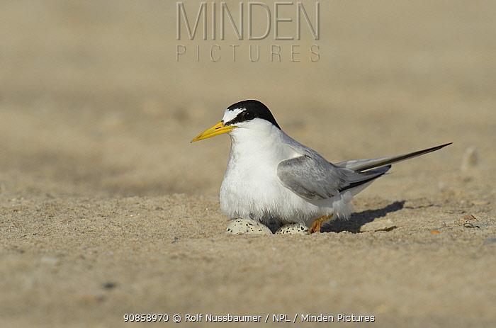 Least tern (Sterna antillarum) sitting on nest, on beach. South Padre Island, Texas, USA.