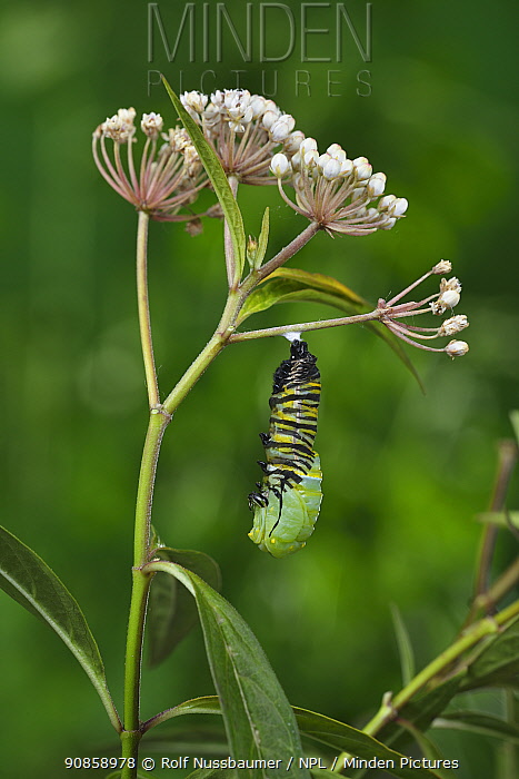 Monarch butterfly (Danaus plexippus) caterpillar pupating on Aquatic milkweed (Asclepias perennis). Hill Country, Texas, USA. Sequence 2/6.