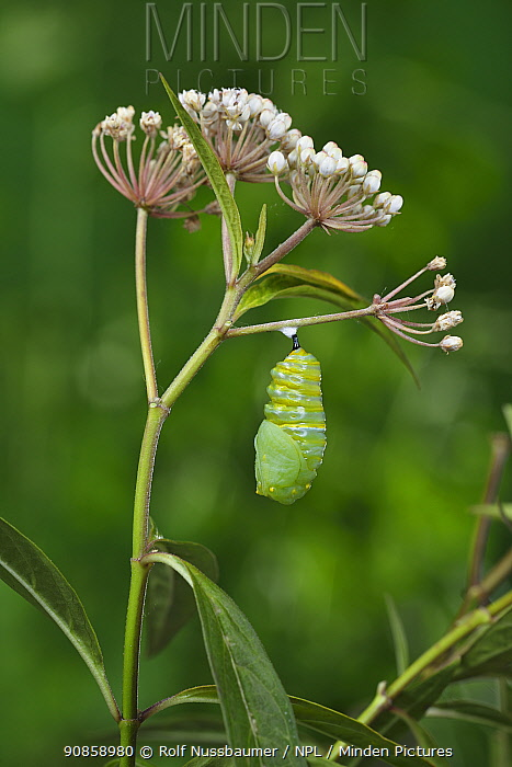 Monarch butterfly (Danaus plexippus) caterpillar pupating on Aquatic milkweed (Asclepias perennis). Hill Country, Texas, USA. Sequence 4/6.