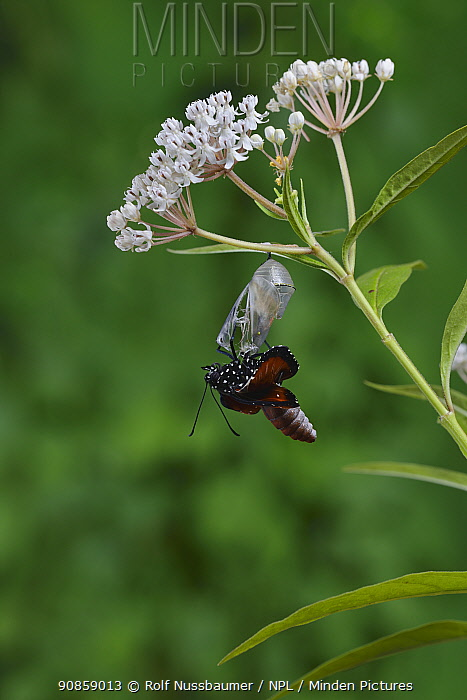 Queen butterfly (Danaus gilippus) expanding wings after emerging from chrysalis on Aquatic milkweed (Asclepias perennis). Hill Country, Texas, USA. Sequence 7/12.