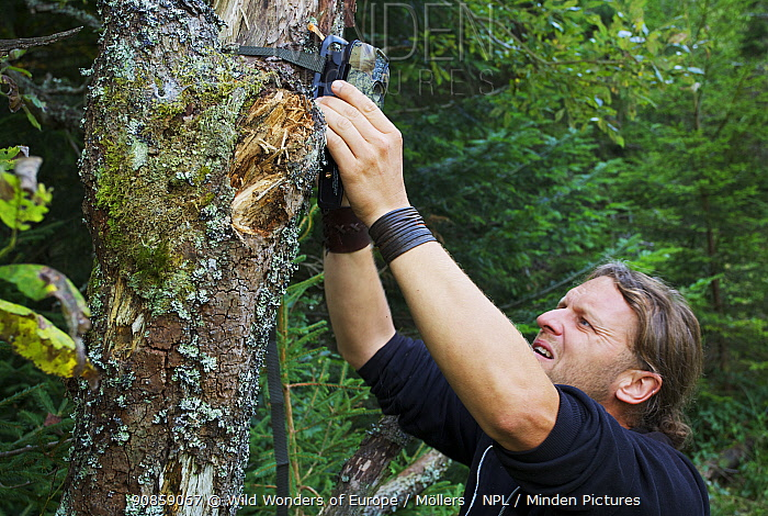 Wildlife biologist mounting an infra-red triggered wildlife monitoring camera to a tree pointing towards a wallow to monitor European bison / Wisent (Bison bonasus) and Red deer (Cervus elaphus), Bukowiec, Poland, September 2011 Model released