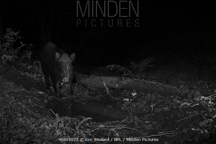 Wild Boar (Sus scrofa) taken at night with infra red remote camera trap, Mayenne, Pays de Loire, France.