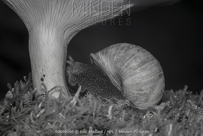 Snail (Helix pomatia) and mushroom at night, taken with infra-red remote camera trap, Slovenia, October.